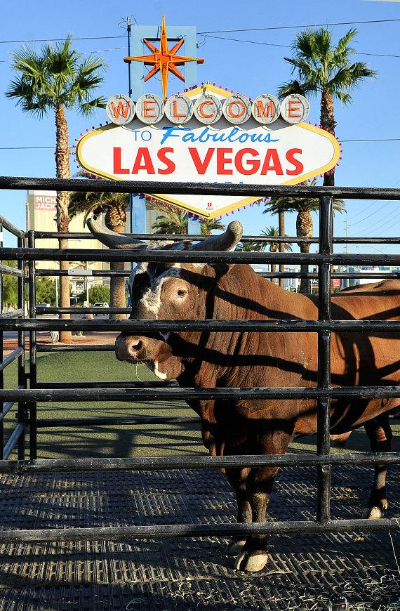 Bushwacker, Most Notorious Bucking Bull in Professional Bull Riders History Commemorates its Retirement at Welcome to Las Vegas Sign