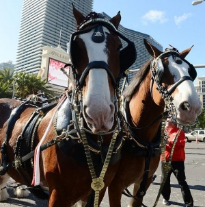 Budweiser Clydesdales to Trot Down Las Vegas Boulevard to Beer Park for Big Game Feb. 5