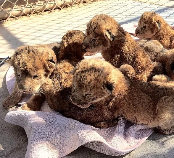 Lion Habitat Ranch, Inc. Welcomes Record Breaking Six New Baby Lion Cubs