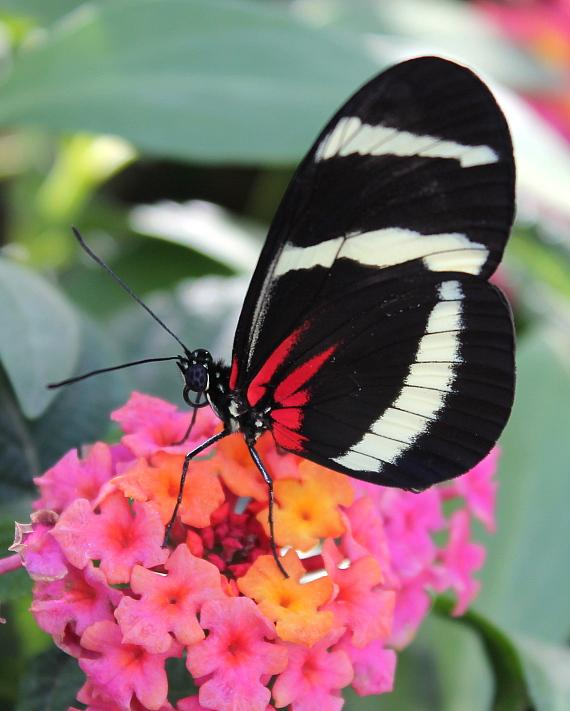 Red Postman Butterfly