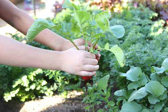 "A student from Ruby Thomas Elementary School holds a radish, one of the many vegetables growing in the ""Whole Foods"" edible garden"