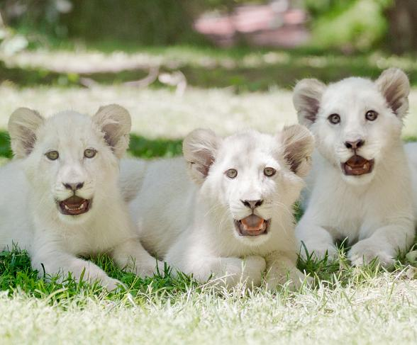 Siegfried Roy Introduce Three White Lion Cubs To Their New Home At The Mirage