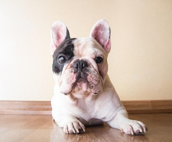 Canine Celebrity Manny the Frenchie to Visit Las Vegas Pet Store August 2