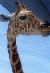 Lion Habitat Ranch celebrates World Giraffe Day
