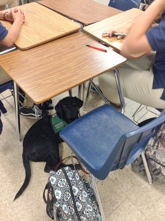 Octave the guide dog puppy patiently sits under Claire's desk