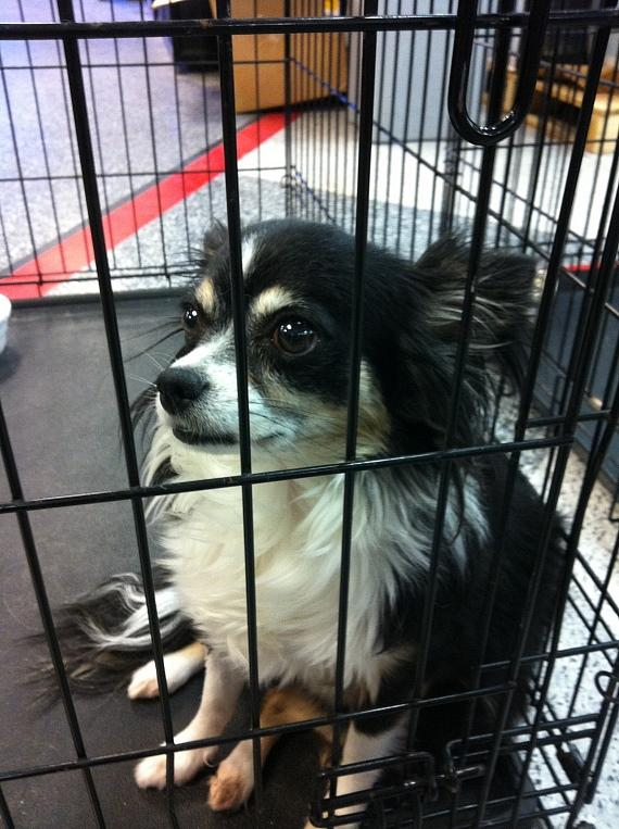 'Abby' in a cage at Friends For Life Humane Society