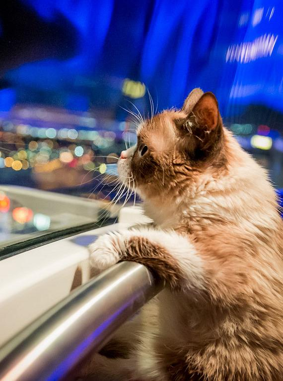 Grumpy Cat rides The High Roller at The LINQ in Las Vegas