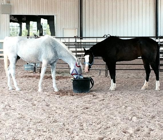 """Melody quickly found a """"Best Friend"""" in one of the existing horses, a Polish Arabian, Ghost Dancer"""