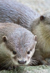 Seaquest Las Vegas Debuts Asian Small-Clawed Otter Pups