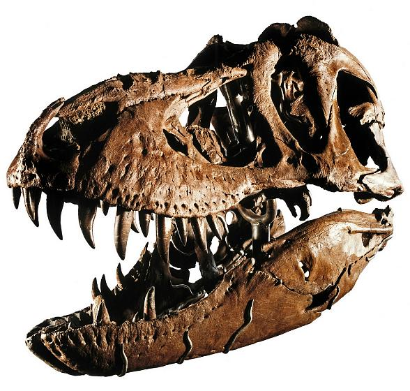 "Rare 66-million year old Tyrannosaurus skeleton dubbed ""Samson"""