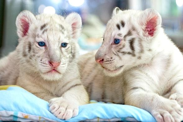The Mirage Welcomes 7 Week Old Tiger Cubs To Siegfried Roy 39 S Secret Garden And Dolphin Habitat