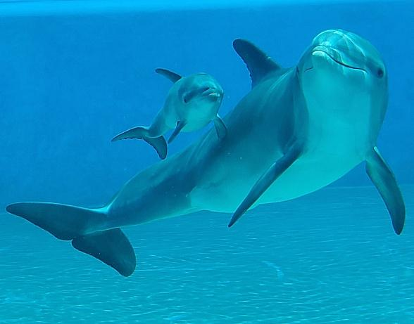 Dolphin Calf Makes Splash at The Mirage in Las Vegas