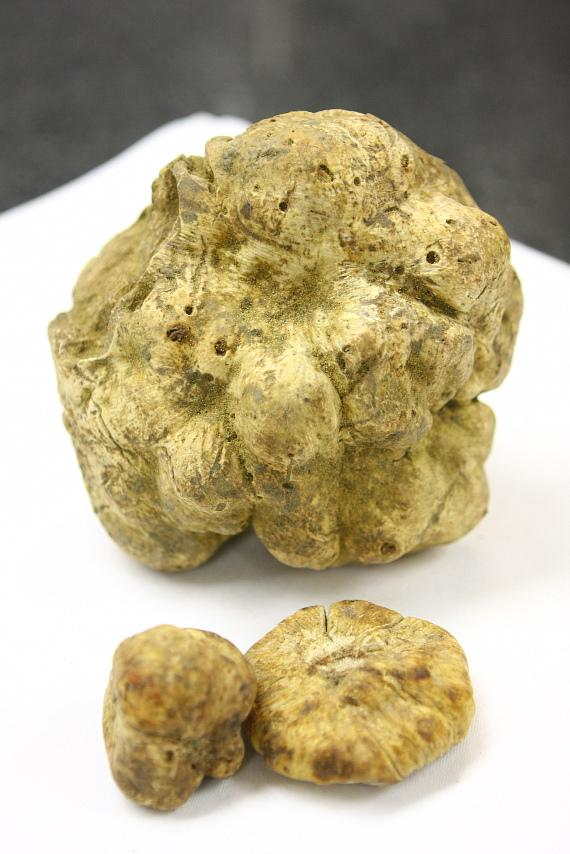 1.16-pound white truffle with two normal-sized truffles