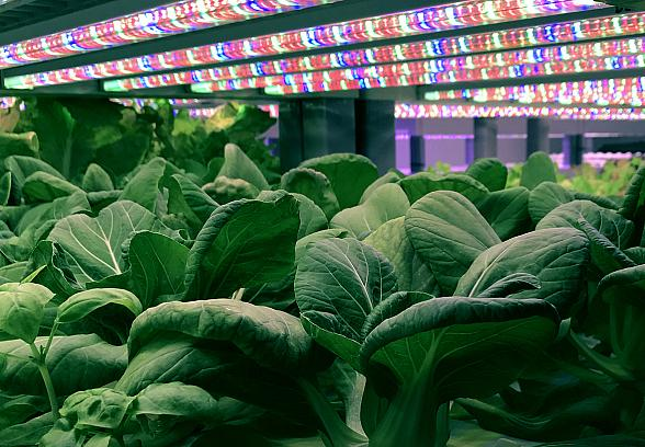 "Oasis Biotech Unveils Evercress Produce Brand in Effort to ""Feed the World. Better."""