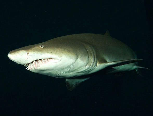 Dive With Sharks at Mandalay Bay Offers Certified Divers Experience of Lifetime