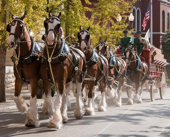 Budweiser Clydesdales to trot to Paris Las Vegas for Grand Opening of Beer Park