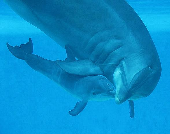 Dolphin Calf Birth Celebrated at The Mirage in Las Vegas